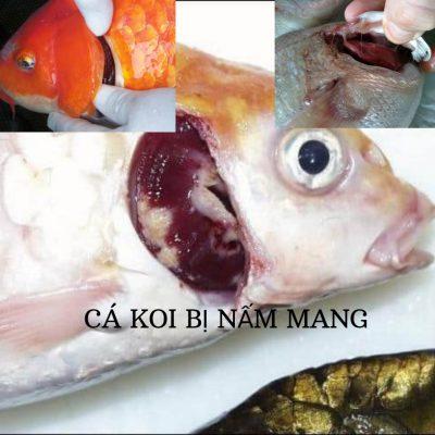 Cloramin T - trị nấm mang hiệu quả cho cá koi