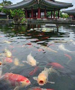 Hồ Cá Koi
